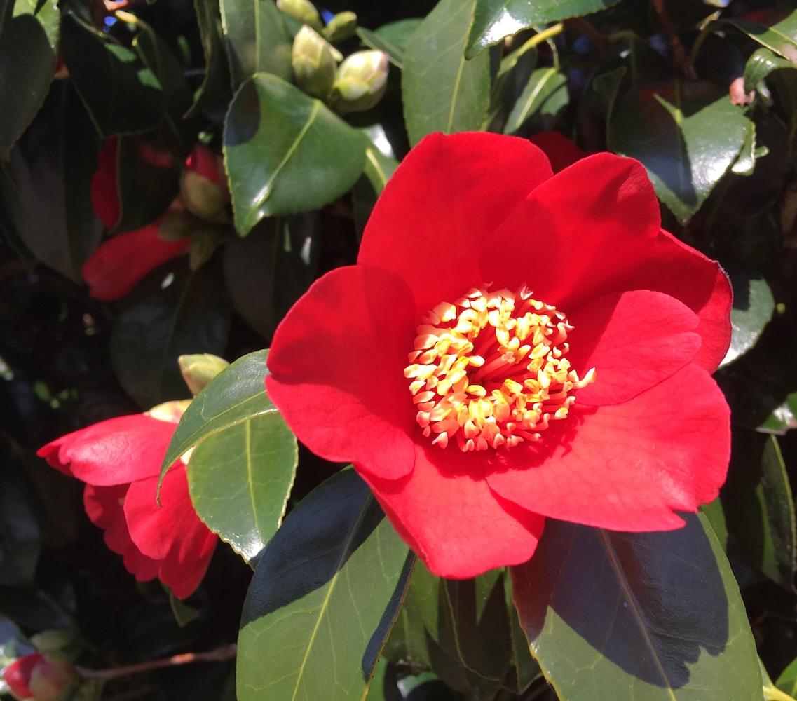 camellia_red