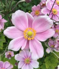 anemone_hybrida